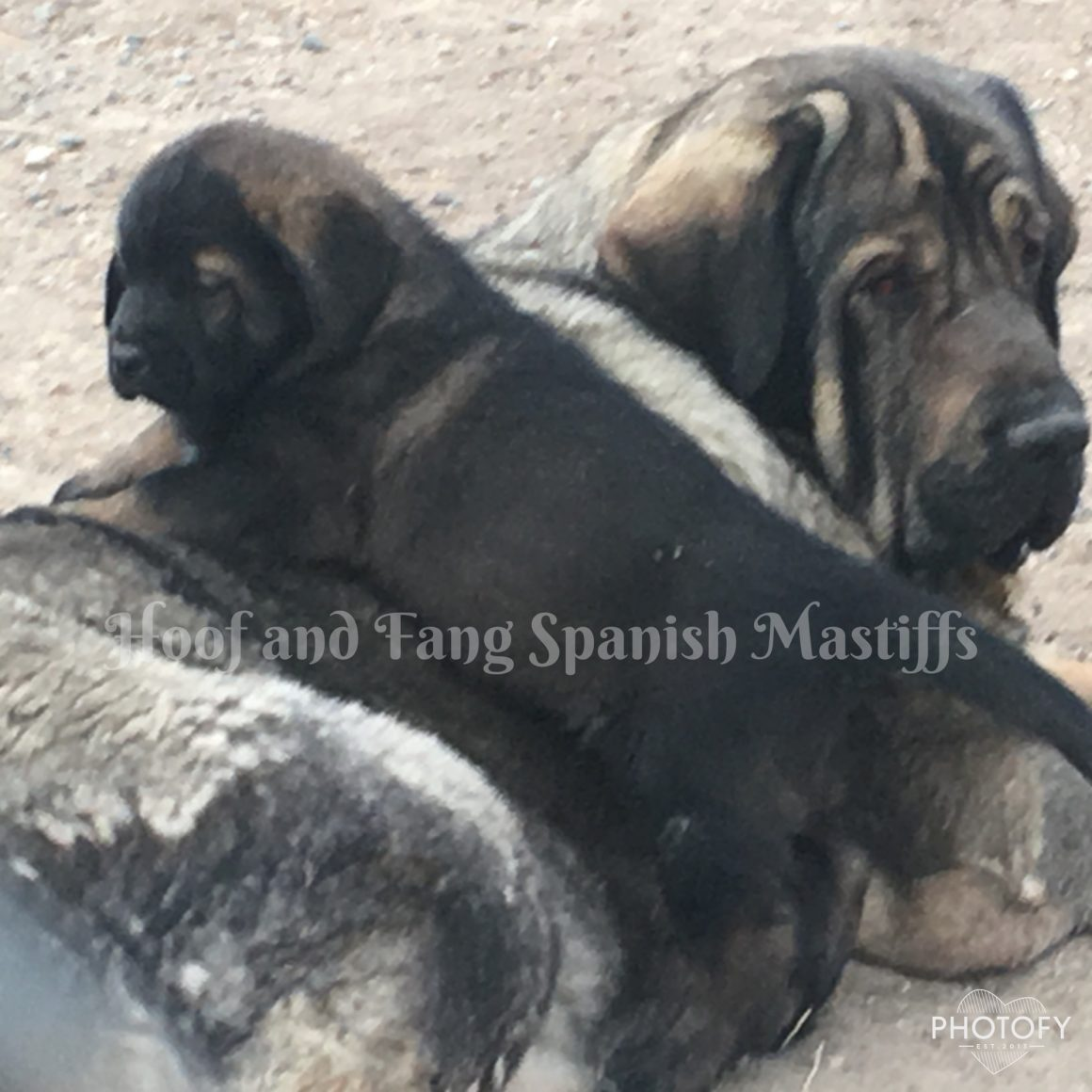 Hoof And Fang Spanish Mastiffs Purebred Spanish Mastiffs From